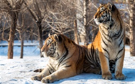Preview wallpaper Two tigers rest, snow, trees, winter