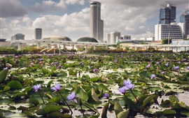 Preview wallpaper Water lily, flowers, pond, city, Singapore