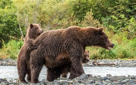 Wet brown bears, family, stones, river