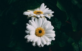 Preview wallpaper White gerbera flowers close-up