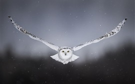 White owl flight, wings, front view
