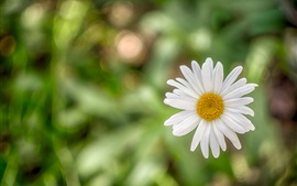 Preview wallpaper White petals daisy, bokeh