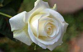 Белая роза, лепестки, цветок