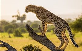 Preview wallpaper Africa, cheetah, tree