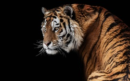 Preview wallpaper Amur tiger look back, face, black background