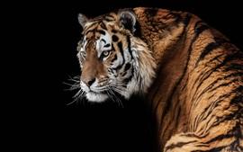 Amur tiger look back, face, black background