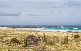 Preview wallpaper Australia, kangaroo, grass, sea