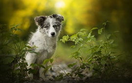 Australian shepherd dog, green leaves