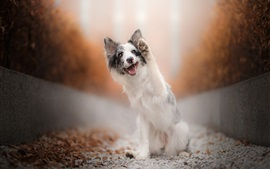 Preview wallpaper Australian shepherd, dog, paw