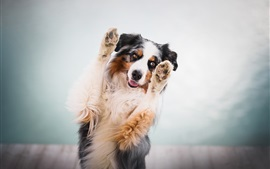 Preview wallpaper Australian shepherd, dog, paws