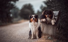 Australian shepherd, two dogs, bench