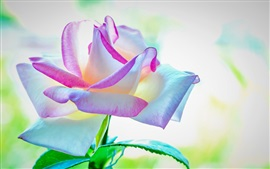 Preview wallpaper Beautiful rose, colorful petals, pink white blue