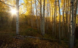 Preview wallpaper Birch, forest, sun rays
