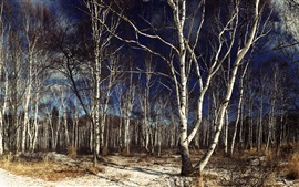 Birch, forest, tree, dusk