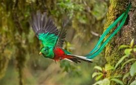 Vuelo de aves, bosque, Costa Rica