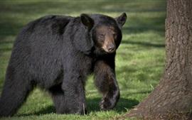 Черный медведь, хищник, прогулка