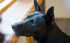 Черная собака, голова, уши