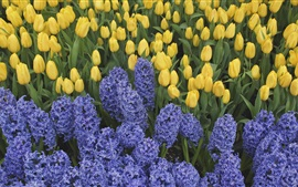 Blue hyacinths and yellow tulips