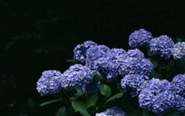 Preview wallpaper Blue hydrangea flowers, bokeh