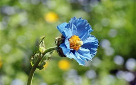Preview wallpaper Blue poppy flower