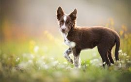 Border collie, cachorro marrom olhar para trás