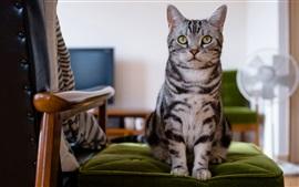 Gatinho britânico, cadeira, olhos verdes