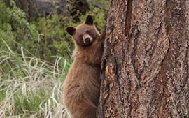 Urso pardo, escalar, árvore