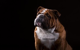 Bulldog, black background