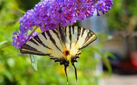 Бабочка, фиолетовые цветы