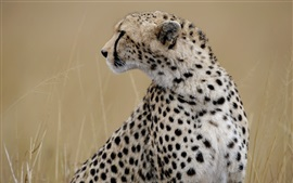 Preview wallpaper Cheetah look at side