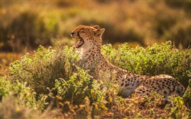 Preview wallpaper Cheetah yawns, mouth, teeth, bushes