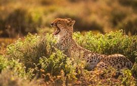 Gepard gähnt, Mund, Zähne, Büsche
