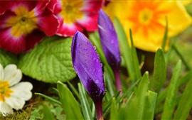 Açafrões, botão de flor roxa, gotas de água