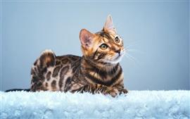 Lindo gato de Bengala mira hacia arriba