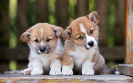 Preview wallpaper Cute corgi, two puppies