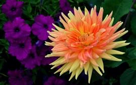 미리보기 배경 화면 달리아, 오렌지 꽃잎