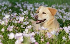 Vorschau des Hintergrundbilder Hund in den Blumen, Frühling