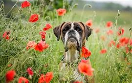Preview wallpaper Dog, red poppy flowers, summer