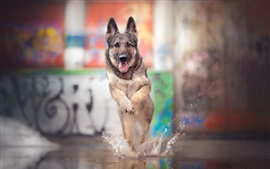 Dog running fast, water splash