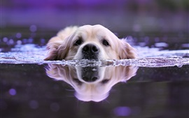 Preview wallpaper Dog swimming in water, head