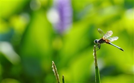 Preview wallpaper Dragonfly, insect, green background