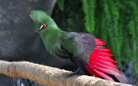 Preview wallpaper Dubai, common turaco, bird, green feathers