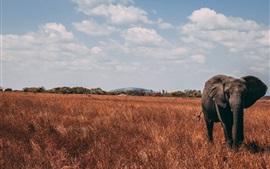 Elephant, proboscis, grass, autumn