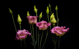Preview wallpaper Eustoma, bouquet, pink flowers, black background