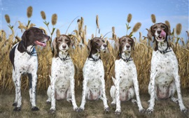 Preview wallpaper Five dogs, wheat field