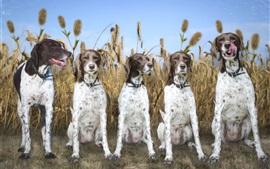 Aperçu fond d'écran Cinq chiens, champ de blé