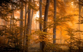 Forest, trees, autumn, fog