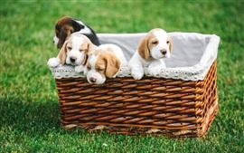 预览壁纸 四只小狗在篮子里,草地上
