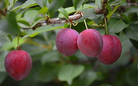 Fresh plums, fruit, tree, leaves