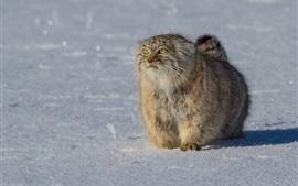 Furry wild cat, yellow eyes, snow, winter